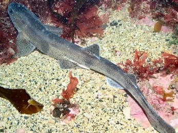 Small Spotted Catshark
