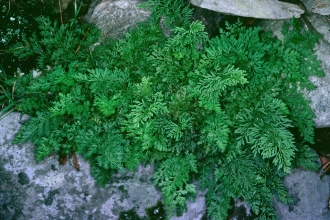 Parsley fern