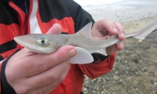 Smoothhound shark in hand