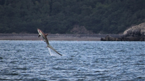 Thresher shark leaping from the water